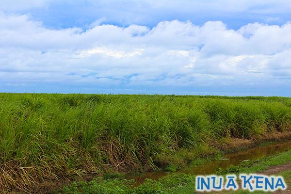 Guyana cane fields