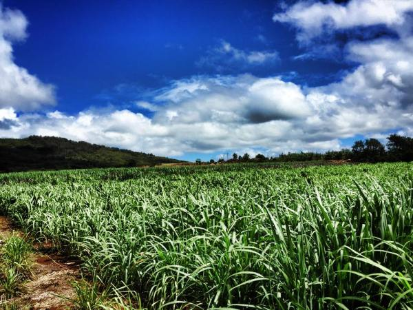 Manulele's Estate Cane Fields