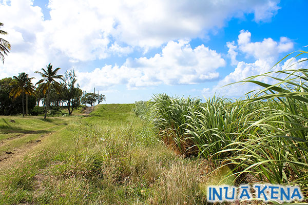 Mount Gay Sugar Cane Plantation