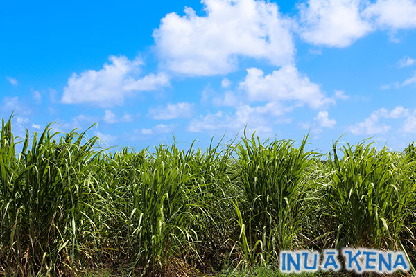 Young sugar cane growing at Foursquare Distillery
