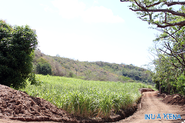 A Cane Co sugarcane field on Grenada